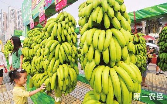 """南宁香蕉价格开始回升逐渐走出""""低谷"""""""