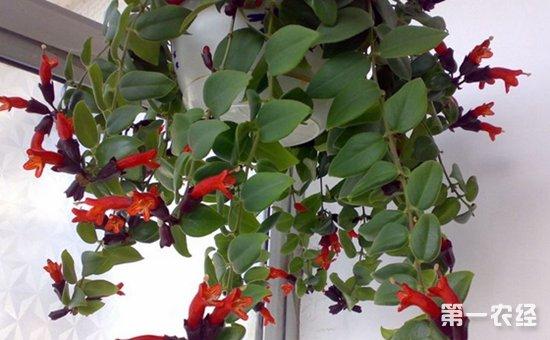 10种非常适合吊起来养的盆栽植物介绍!