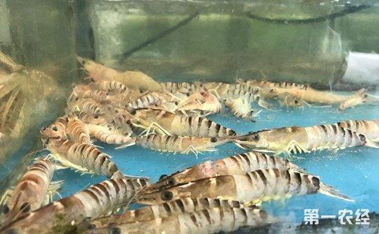 基围虾怎样养殖才能高产?基围虾的高产养殖技术