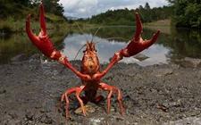如何防止小龙虾病害?小龙虾常见病的防治技术