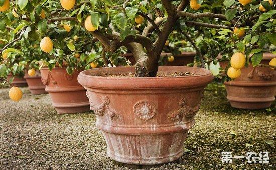 柠檬树盆栽怎么养?盆栽柠檬树的养殖方法 - 种植技术