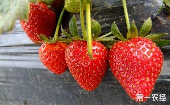 草莓什么时候种植?草莓的种植时间和方法
