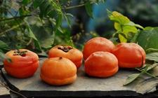 山东一女士连吃5个柿子和其他食物 导致柿结实造成肠梗阻