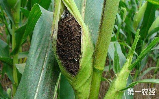 玉米染上丝黑穗病怎么办?玉米丝黑穗病的防治方法