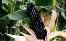 黑玉米怎么种植?黑玉米的播种方法和种植技术