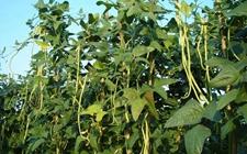 豇豆什么时候种植?豇豆的种植时间和方法