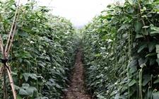 豇豆怎么种植?豇豆的种植技术与管理