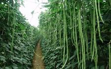 如何种植豇豆?豇豆的种植技术视频