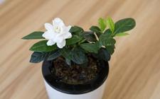 栀子花怎么养?栀子花的养殖方法和注意事项