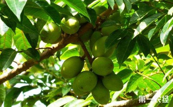 橄榄树什么时候种植?橄榄树的种植时间和方法