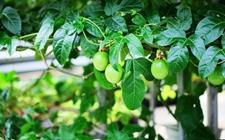 橄榄树种子怎么种植?橄榄树的播种繁殖方法