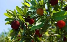 杨梅树怎么施肥?杨梅树的高产施肥技术