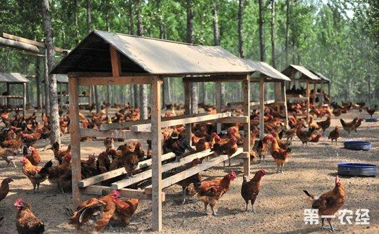 如何建造农村低成本鸡舍?