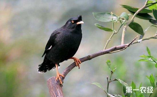 八哥鸟怎样分公母 八哥鸟公母的辨别方法图片