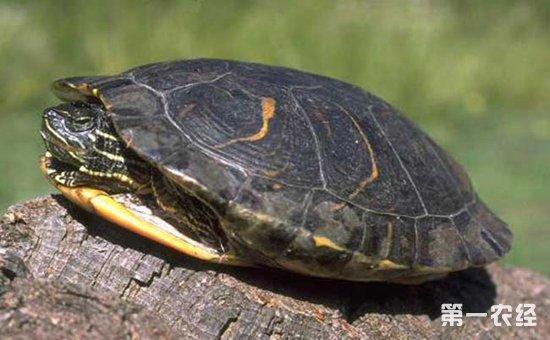 乌龟冬眠怎么养才好 乌龟冬眠时的养殖技术