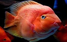 鹦鹉鱼的常见疾病有哪些?鹦鹉鱼常见病的治疗方法