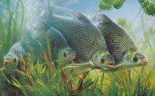 武昌鱼要怎么养好?武昌鱼的养殖技术