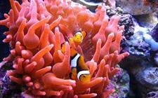小丑鱼怎么繁殖?小丑鱼有什么繁殖特性?