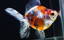 金鱼身上长黑斑怎么办?金鱼黑斑怎么治疗?