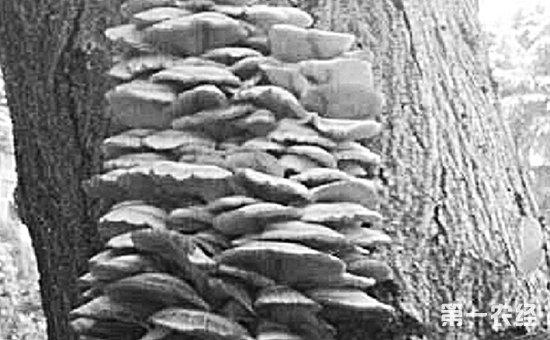 """我国的野生菌资源分布十分广泛,只要雨水湿度得当,便会蹭蹭蹭长出一大片来,吸引了许多朋友采摘食用。然而,并不是所有的野生蘑菇都能食用,有不少含有毒性,误食可能引发食物中毒,甚至危害到生命安全。据消息称,近日,有网友报料说,在杭州沈半路一棵粗大的构树树身上长出了一大片""""蘑菇"""",毛估估有6斤多,可惜无人采摘,只因长在围墙内。据说有好几个人都想进去采蘑菇,但都被大门口的保安拦住了。"""