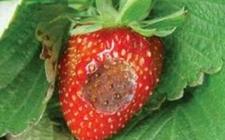 草莓炭疽病如何根除?草莓炭疽病的防治方法