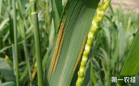 小麦染上锈病怎么办?小麦锈病的防治方法