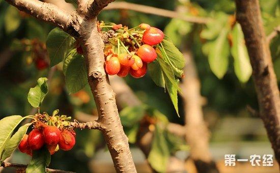 樱桃树怎么种植 大棚樱桃的栽培与管理图片