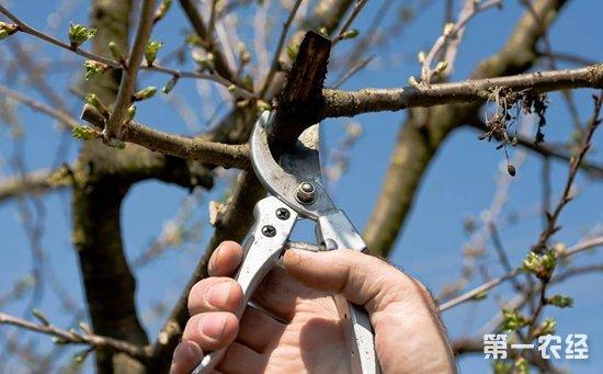 据了解,在樱桃树的种植过程中进行合理的整形修剪,能够有效提高果实的