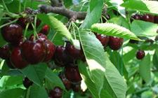 黑珍珠樱桃怎么种?黑珍珠樱桃的种植技术