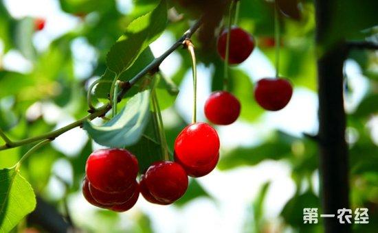 樱桃树种植怎么提高坐果率