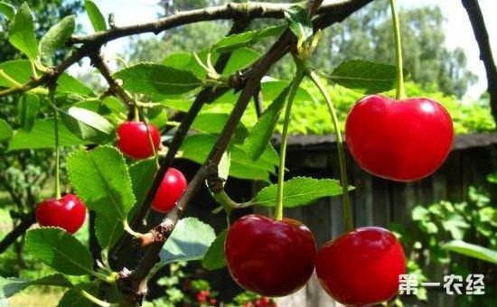 樱桃树种植怎么提高坐果率 提高樱桃坐果率的方法介绍图片