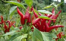 朝天椒什么时候种植好?朝天椒的种植时间和方法