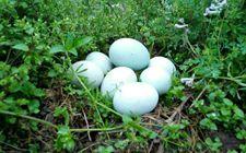 乌鸡蛋有哪些营养价值?乌鸡蛋的营养价值