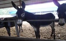 李青山:发展养驴产业带动农户脱贫致富