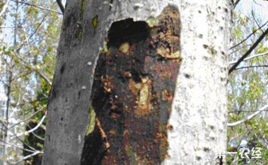 核桃腐烂病怎么办?核桃树腐烂病的症状和防治方法