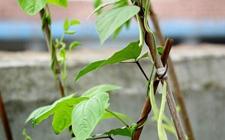 阳台上如何种植四季豆?阳台四季豆的种植方法