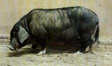 地方品种猪:河西猪