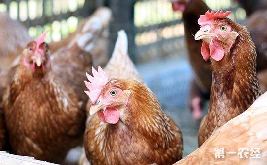 优良高产蛋鸡品种有哪些?