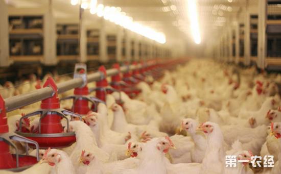 怎样科学进行养鸡场建设规划?