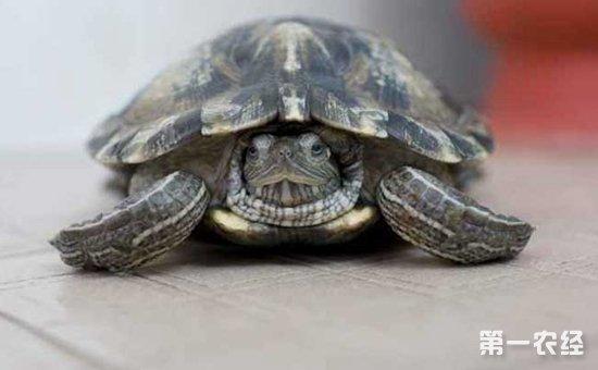 乌龟白眼病怎么办
