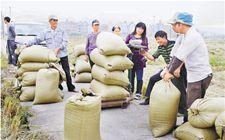 浙江晚稻收购近日全面陆续启动 目前收购工作开展顺利