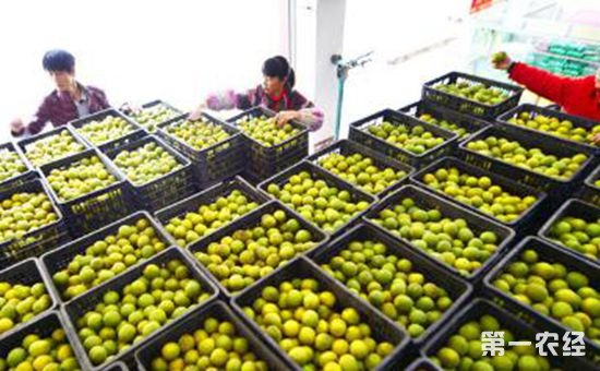 广西桂林:罗汉果迎来丰收季 成为当地群众脱贫主导产业