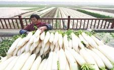 重庆北培区特产:石曹上萝卜