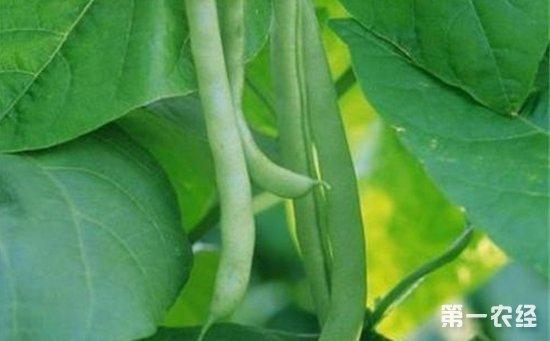 四季豆病虫害怎么防治?四季豆病虫害的综合防治方法