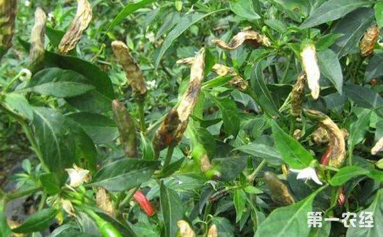 辣椒染上软腐病怎么办?辣椒软腐病的发病原因和防治方法