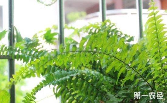 波士顿蕨怎么养?波士顿蕨的养殖方法和注意事项