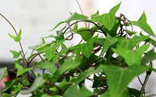 常春藤有毒吗?常春藤能在室内种植吗?