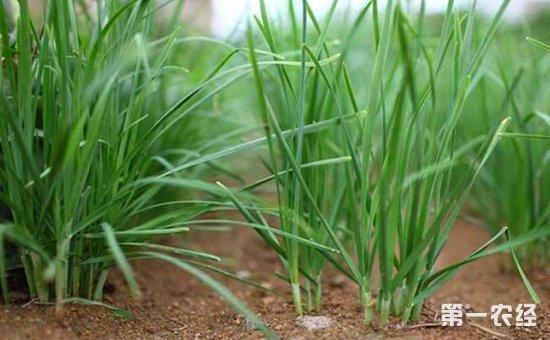 韭菜土壤解冻后到秋分可随时播种,一般以春播为主,黄淮流域春播韭菜4月上旬至4月中旬,南方12-2月份,北方5-6月份,地温稳定于12以上,日平均气温15-18即可播种。采用条播,每亩苗床用干籽6-8千克,可栽植6000平方米菜地,播后立即加盖地膜,保温提温,70%幼苗顶土时揭膜。