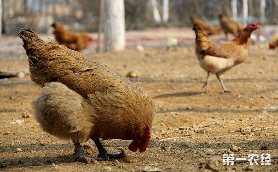 优质的柴鸡品种多不多?主要有哪些?