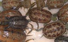 <b>乌龟得了肠胃炎怎么办?乌龟肠胃炎要怎么防治呢?</b>